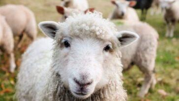 В крупнейшем аэропорту Бельгии косят траву ... овцы. Экология на высоте.