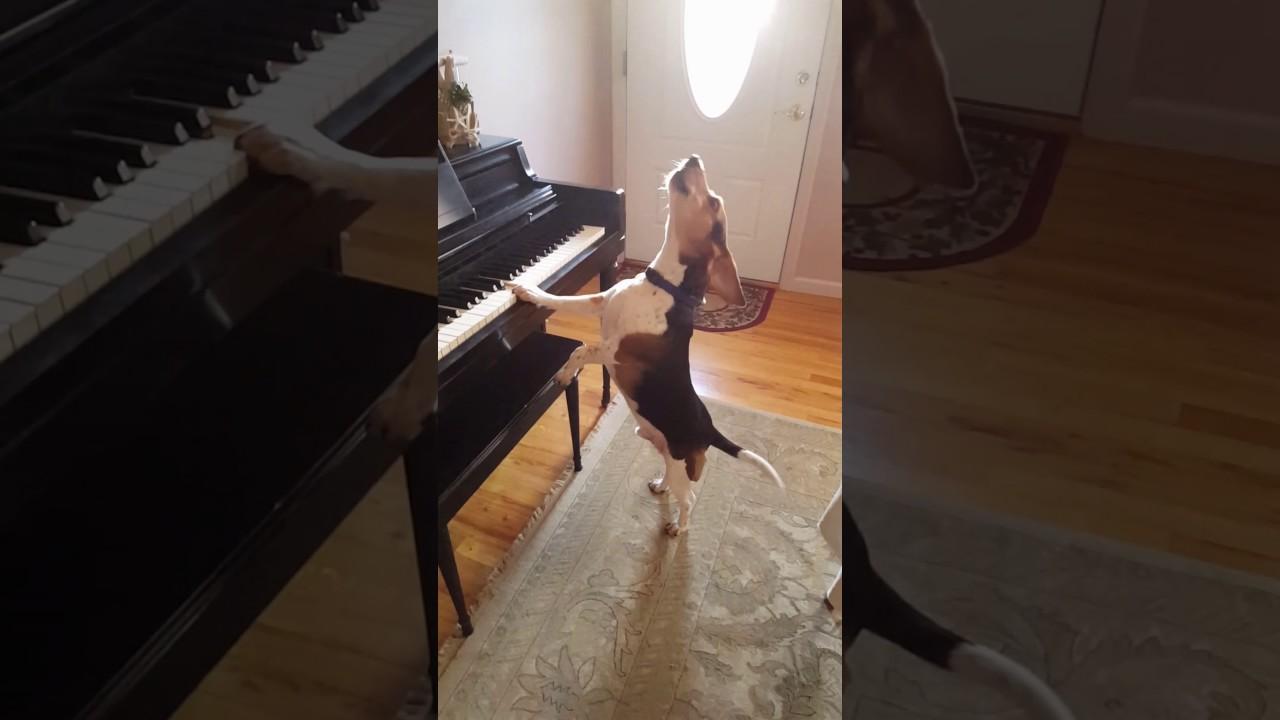 Бигль играет на фортепиано и поет блюз