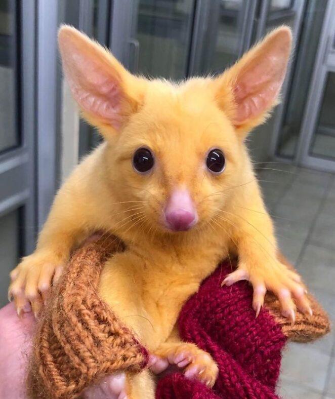 Настоящий Пикачу: В австралийской ветеринарной клинике спасли золотого опоссума