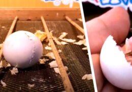 Парень высиживает яйцо попугая