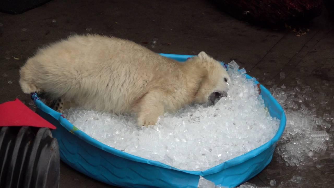 Белый медведь залез в детский бассейн