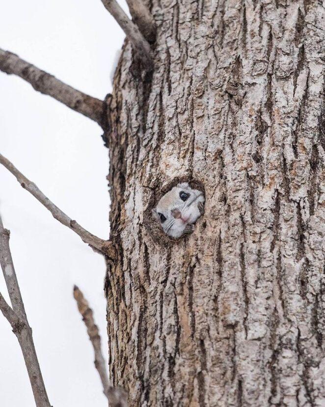 16 невероятно милых фотографий белок-летяг!