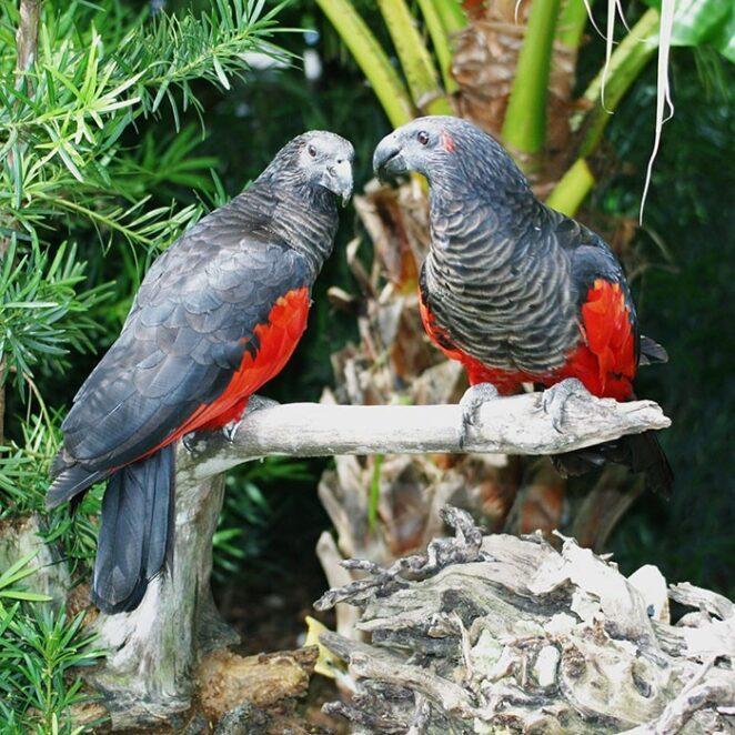 Орлиный попугай, или грифовый попугай Дракула
