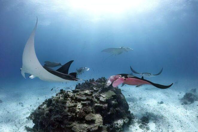 Гигантский розовый морской дьявол или скат-манта замечен в в Австралии