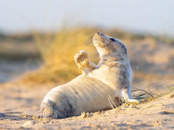 Этот до смешного фотогеничный детеныш тюленя украдет ваше сердце!